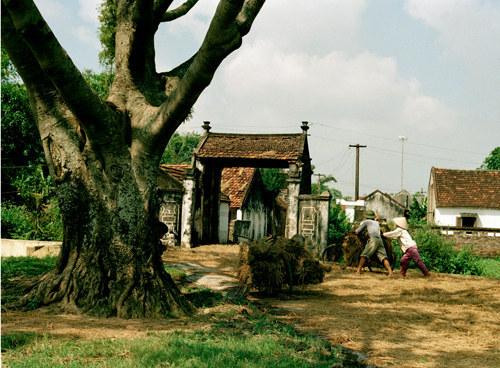 Cây đa, một trong những đực trưng của văn hóa làng xã.
