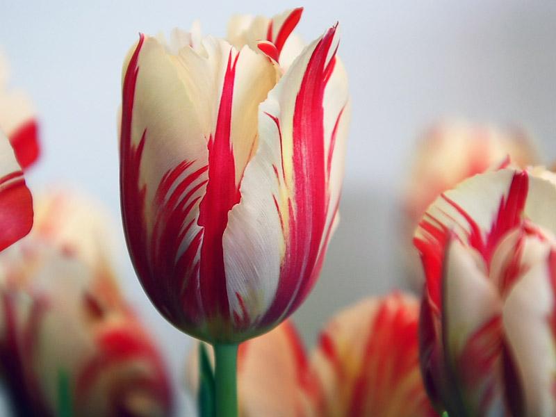 Hoa tulip tk 17.
